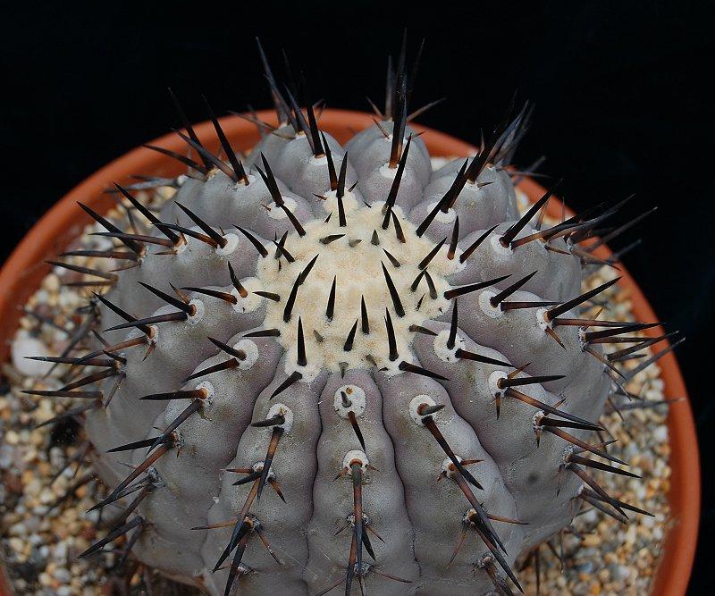 Copiapoa Cinerea Cactus Mall Com