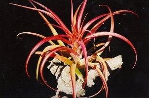 نبات تيلاندسيا Capitatarubra